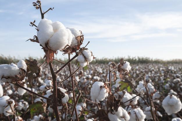 Azərbaycanda pambıq istehsalı 2 dəfə azaldı