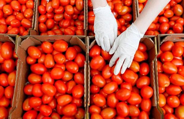 Azərbaycandan pomidor ixracı demək olar ki, dayanıb