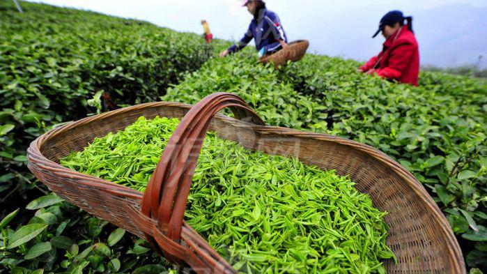 Yanvar-avqust ayları ərzində Azərbaycan 966,7 ton çay ixrac edib